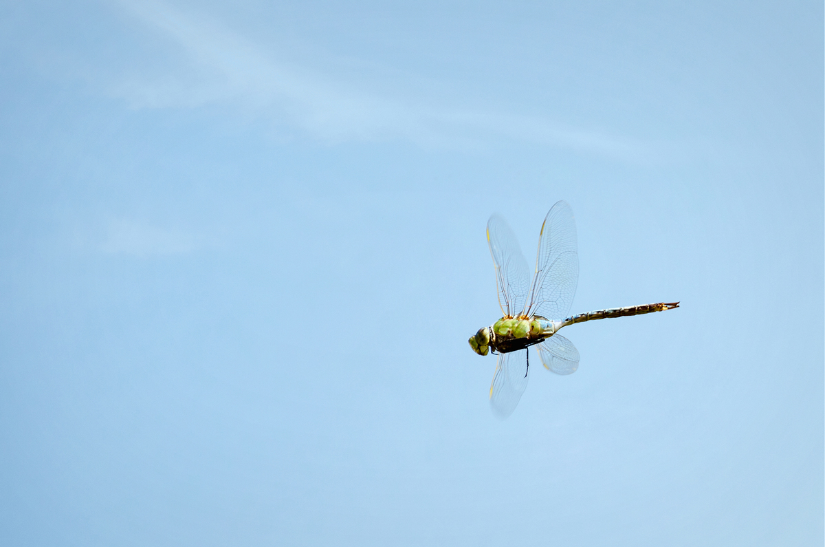 Dragonfly in Flight Photo